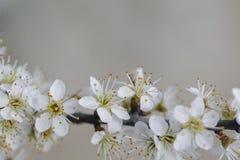 Jabłoni kwiecenie w wiośnie Zdjęcie Stock