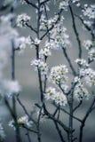 Jabłoni kwiecenie w wiośnie Zdjęcie Royalty Free