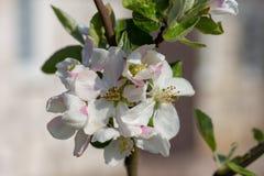 Jabłoni młodzi kwiaty blednąć białych kwiaty obrazy royalty free