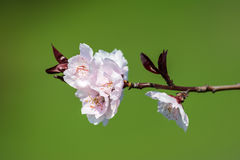 Jabłoni menchii kwiaty Zdjęcia Stock