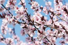 Jabłoni menchii kwiaty Fotografia Royalty Free