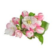 Jabłoni okwitnięć liści zielona wiosna kwitnie zbliżenie fotografia royalty free