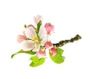 Jabłoni okwitnięcia odizolowywający na białym tle zdjęcie stock