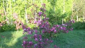 Jabłoni okwitnięcie kwitnie zakończenie kamery przesuwania się paralaksy skutek zdjęcie wideo