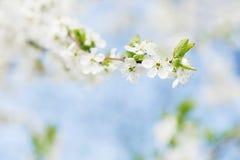 Jabłoni okwitnięcie na niebieskim niebie Wiosna ogród, plenerowy Zdjęcie Stock