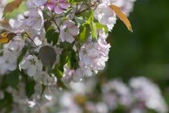 Jabłoni okwitnięcie w ogródzie Obrazy Royalty Free