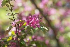 Jabłoni okwitnięcie w ogródzie Obrazy Stock