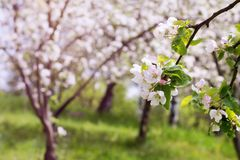 Jabłoni okwitnięcie w ogródzie Zdjęcia Stock