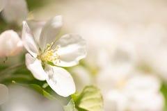Jabłoni okwitnięcie w wiośnie przed zamazanym tłem zdjęcie royalty free