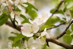 Jabłoni okwitnięcie w wiośnie przed zamazanym tłem zdjęcia royalty free