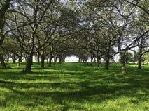 Jabłczana plantacja Obraz Royalty Free