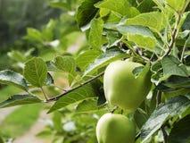 Jabłczana plantacja Zdjęcie Stock