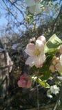 Jabłczana vetet wiosna Zdjęcie Royalty Free