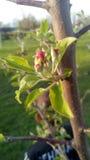 Jabłczana wiosna Zdjęcia Royalty Free