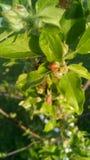 Jabłczana wiosna obraz royalty free