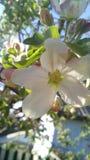 Jabłczana wiosna Obrazy Stock