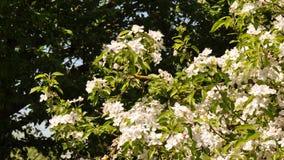 Jabłczani kwiaty Zdjęcie Royalty Free