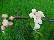 Jabłczani kwiaty Fotografia Stock