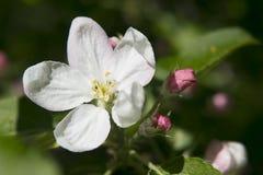 Jabłczani kwiaty Fotografia Royalty Free