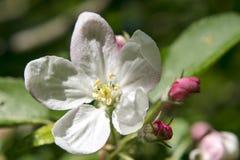 Jabłczani kwiaty Zdjęcia Royalty Free
