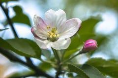 Jabłczani kwiaty Zdjęcie Stock
