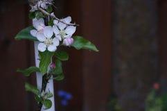 Jabłczani kwiaty Obraz Royalty Free