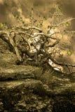jabłczany czarodziejski drzewo Zdjęcia Royalty Free