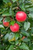 jabłczany czerwony drzewo Zdjęcia Stock