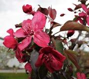 jabłczany królewski drzewo Zdjęcia Stock