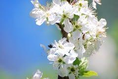 Jabłczany kwiat Obrazy Royalty Free