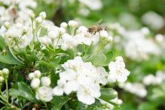 Jabłczany kwiat Obrazy Stock