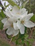 Jab?czany kwiat zdjęcia royalty free
