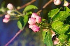 Jabłczany kwiat Kwiaty na owocowym drzewie w naturze Obrazy Royalty Free