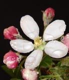 Jabłczany kwiat z wodnymi kroplami Fotografia Stock
