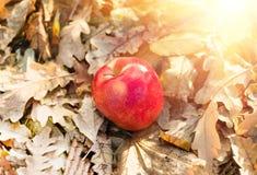 Jabłczany lying on the beach na ziemi Obrazy Royalty Free