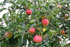 Jabłczany Malus domestica na drzewie, Fotografia Royalty Free