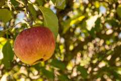 Jabłczany obwieszenie na drzewie Fotografia Royalty Free