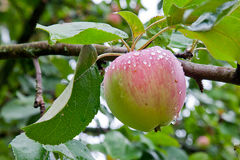 jabłczany podeszczowy drzewo Obraz Royalty Free