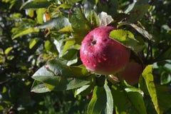 Jabłczany ranek Obraz Royalty Free