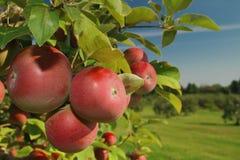 jabłczany sad Fotografia Stock