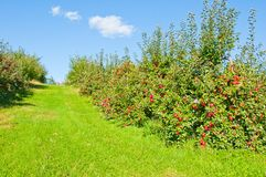 jabłczany sad Zdjęcie Royalty Free