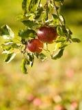 jabłek czerwieni drzewo Zdjęcia Royalty Free