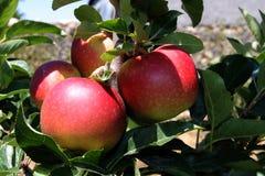 jabłek target50_1_ Fotografia Royalty Free