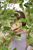 Jabłka 27 Obrazy Royalty Free