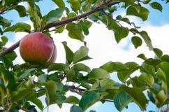 jabłka Obrazy Stock
