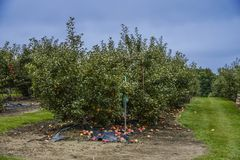 Jabłka drzewa plantacja Obraz Royalty Free