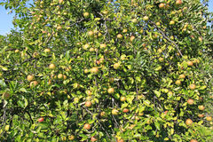 jabłka drzewni Zdjęcia Royalty Free