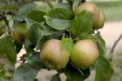 jabłka drzewo Fotografia Royalty Free