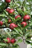 jabłka drzewo zdjęcie stock