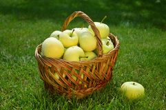 Jabłka, kosz, lato, trawa, witaminy, owoc Obraz Royalty Free